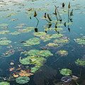 Lilly Pad In Pond  by John McGraw
