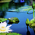 Lilly Pad by Angie Covey