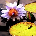 Lillypad In Bloom by Chad Kroll