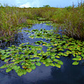 Lillypads In The Everglades by Tammy Chesney