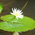 Lily-1 by Reshmi Shankar