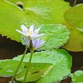 Lily-2 by Reshmi Shankar