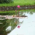 Lily-3 by Reshmi Shankar