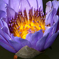 Lily Aglow by John Lautermilch