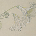 Lily by Albert Williams