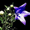 Lily by Anita Goel