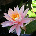 Lily Bloomed by Kerry Reed