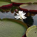 Lily by David Bearden