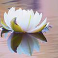 Lily Dream by Deborah England