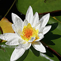 Lily Floating On Pond IIi by Mariola Bitner