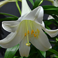 Lily by James Pinkerton