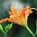 Lily by Jim Benest