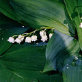 Lily Of The Valley by Corinne Elizabeth Cowherd