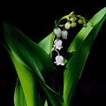 Lily Of The Valley by Living Color Photography Lorraine Lynch