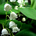 Lily Of The Valley  by Michelle Calkins