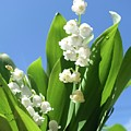 Lily Of The Valley by Rauno Joks