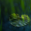 Lily Pad by Silke Magino