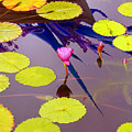 Lily Pads 2 by Madeline Ellis