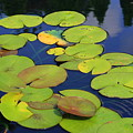 Lily Pads by Allison Whitener