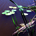 Lily Pads And Reeds by Joanne Smoley