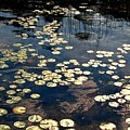 Lily Pads In Winthrop Maine by DeLa Hayes Coward