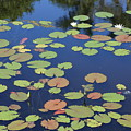 Lily Pads On Blue Pond by Carol Groenen