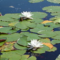 Lily Pads by Patty  Leclerc