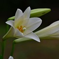 Lily  by Pam Smith