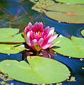 Lily Pond by Donna Bentley