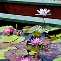 Lily Pond E by Phyllis Spoor