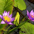 Lily Pond by Karen Dickinson