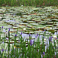 Lily Pond Panorama by Carol Groenen