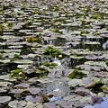 Lily Pond by Sagittarius Viking
