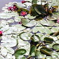 Lily Pond by Samiksa Art