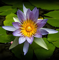 Lily Queen Of The Pond  by Bonnie Follett