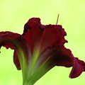 Lily Red On Yellow Green - Daylily by MTBobbins Photography