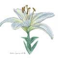 Lily Watercolor by Dominic White