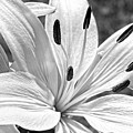 Lily White - Bw by Christopher Holmes