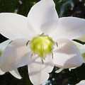 Lily White by Edier C
