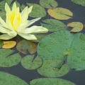 Lilypad by Joan Gal-Peck
