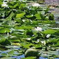 Lilypond Chicago Botanical Garden by Colleen Cornelius
