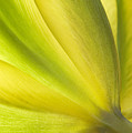 Lime Tulip by Jill Love