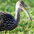 Limpkin Checking For Snails. by Dennis Rosa