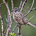 Lincoln's Sparrow by Rick Graham