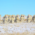 Line Em Up Rams by Amanda Smith