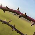 Line Of Thorns by Raelene Goddard