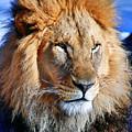 Lion 09 by Ingrid Smith-Johnsen