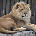 Lion 2 by Flo McKinley