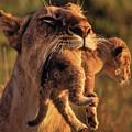 Lion 32 by Ingrid Smith-Johnsen