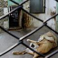 Lion At Zoo by Tianxin Zheng